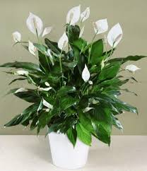 indoor plants india 5 beautiful air purifying indoor plants for indian homes daz