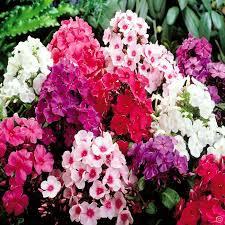 Phlox Flower Phlox Giant Flowering Mix 3 Plants Buy Online Order Now