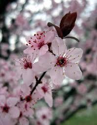 prunus species ornamental plum roanoke virginia flickr