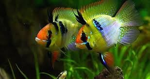 tropical fish care freshwater tropical fish guides for the