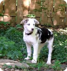 australian shepherd and border collie mix sue 16 weeks old adopted puppy 22524 mentor oh