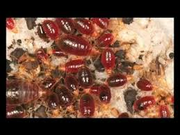 What Kills Bed Bug Eggs How To Kill Bed Bugs Fast Easy Steps Best Advice On Killing