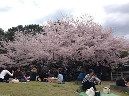 how to celebrate the cherry blossom festival in