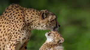 the meaning and symbolism of the word cheetah