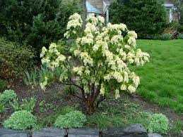 my favorite shrubs bushes for the philadelphia area newtown