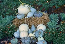 white pumpkins tips for growing white pumpkins coronado