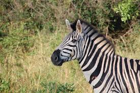 pattern formation zebra free photo zebra south africa wildlife animals wild nature max pixel