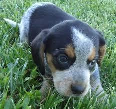 bluetick coonhound mix puppies 66 best dream puppy images on pinterest bluetick coonhound