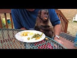 capuchin monkey thanksgiving dinner