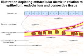 What Organelles Are Found In Epithelial Cells Basement Membrane Wikipedia