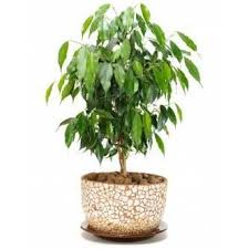 indoor trees that don t need light ficus benjamina mini weeping fig tree doesn t like to be moved