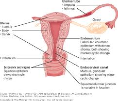 Anatomy Of The Female Reproductive System Pictures Chapter 22 Disorders Of The Female Reproductive Tract
