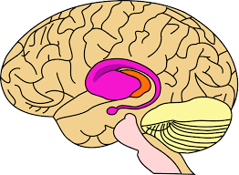 Thalamus Part Of The Brain Putamen Wikipedia