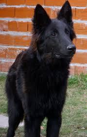 belgian sheepdog rescue groups groenendael u2013 black belgian shepherd groenendael pinterest