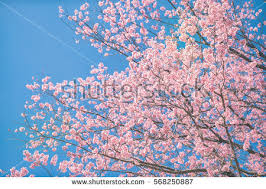 cherry blossom trees spring vintage soft stock photo 548885062