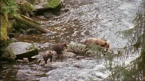Alaska Wild Animals images Brown bear wild animal alaska sd stock video 901 373 524 jpg