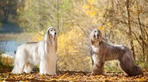 afghan hound long haired dogs 30 most expensive dog breeds gobankingrates
