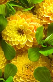 191 best canary yellow images on pinterest yellow colour yellow