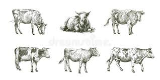 sketches of cows drawn by hand livestock cattle animal grazing
