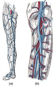 circulatory routes boundless anatomy and physiology