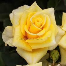 Gold Rose Yellow Gold Roses Product Categories Dawsons Garden World