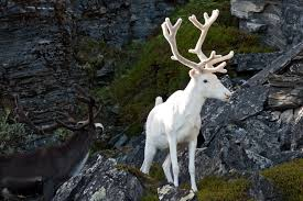 white reindeer photographed in sweden