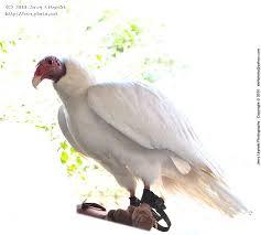Seeking Vulture A Turkey Vulture Or Buzzard