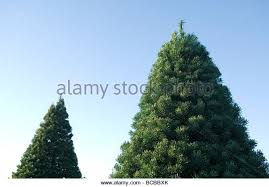 scotch pine christmas tree scotch pine christmas tree stock photos scotch pine christmas
