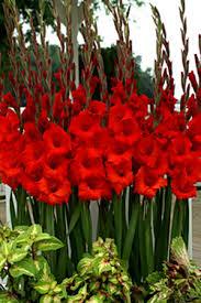 bloomingbulb gladiolus
