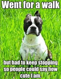 Boston Terrier Meme - 10 best boston terrier memes of all time
