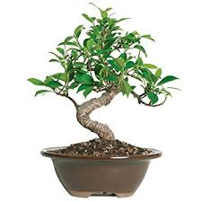 brussel s golden gate ficus bonsai small indoor