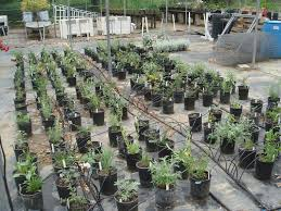 native plant nurseries nursery media good for california native production