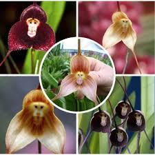monkey orchids orchids seeds 100 pcs