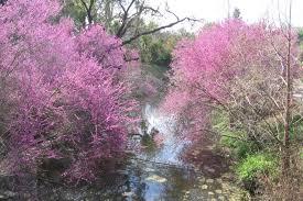 flowering tree western redbud anne of green gardens