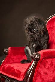 affenpinscher monkey dog 678 best there are dogs and then there are brussels images on