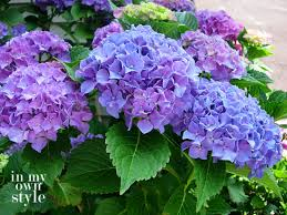 purple hydrangea how to turn hydrangeas pink or blue in my own style