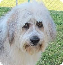 bearded collie adoption quincey adopted dog lm foster ri bearded collie old