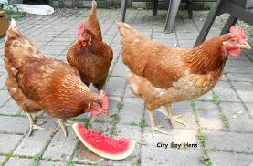 keeping your chickens cool in the summer city boy hens