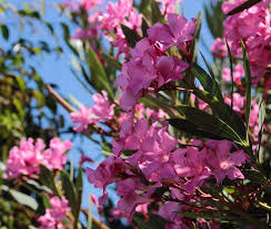 Trees With Pink Flowers Photo Guide To Types Of Flowering Trees