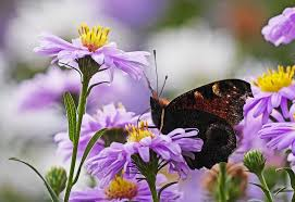 butterfly flowers free photo asters peacock butterfly flowers purple butterfly max
