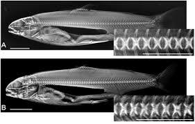 molecular pathology of vertebral deformities in hyperthermic