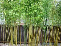 best 25 growing bamboo ideas on how to grow bamboo