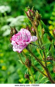 moss roses stock photos moss roses stock images alamy