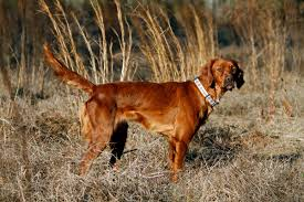 types of setter dog breeds best hunting dogs gun dogs hunting dog breeds field stream