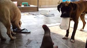 2 female boxer dogs together cute boxer and lab playing together youtube