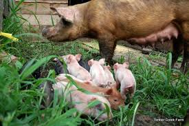 Backyard Pig 10 Pig Breeds For The Homestead Countryside Network