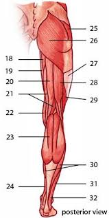 Human Anatomy Muscle 22 Best Science Human Anatomy Muscles Images On Pinterest