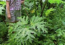 pennsylvania native plants invasive giant hogweed plant found in butler co pittsburgh post