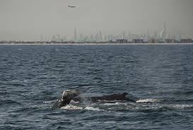 un addresses issue of whale ship collisions eurekalert science news
