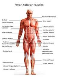 Human Anatomy Careers Anatomy Of Body Anatomy Of Male Muscular System Posterior View